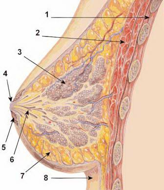 Phụ nữ tập tạ ngực: Tốt hay xấu?