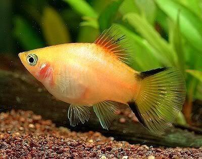 Jenis Ikan Platy