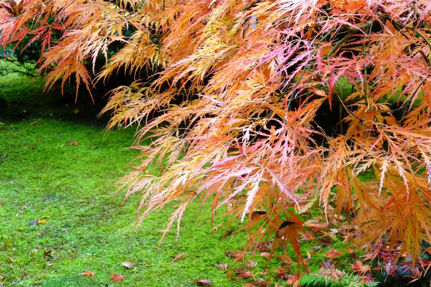 Autumn colored Japanese Maple at Portland Japanese Garden, Japanese Maple tree Portland Japanese Garden