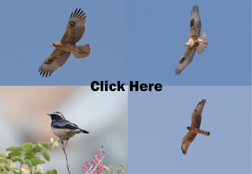 Our birding trips from around the World    Click Here