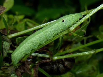 Deilephila porcellus caterpillar