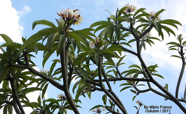 c586943277 JASMIM-MANGA - ( Plumeria rubra ) - Plumeria rubra var. acutifoia