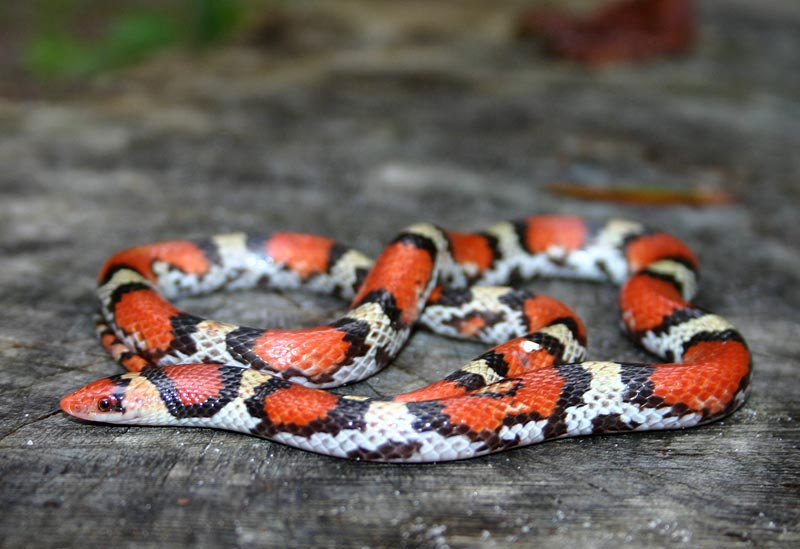 41b61af6f Photos Courtesy of Daniel D. Dye. Florida Backyard Snakes