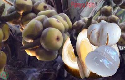 palmyra palm fruit