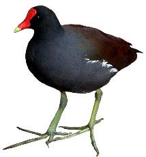 Frango-d'Água Comum (Gallinula chloropus)