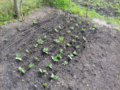Allotment Growing - Broad Beans