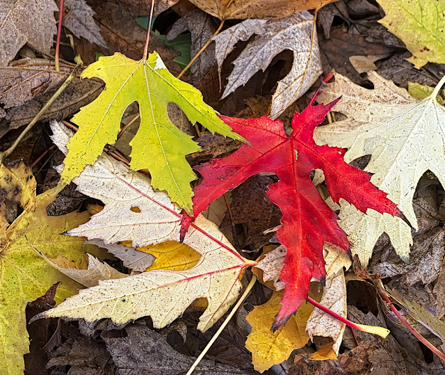 Red maple leaf with yellow and brown leaves