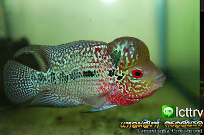 ขายปลาหมอสี มุกแดง สวยๆ