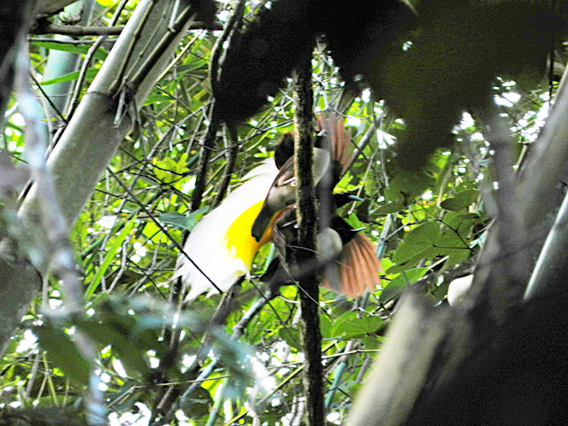 Lesser Birds of Paradise in Susnguakti forest of Manokwari