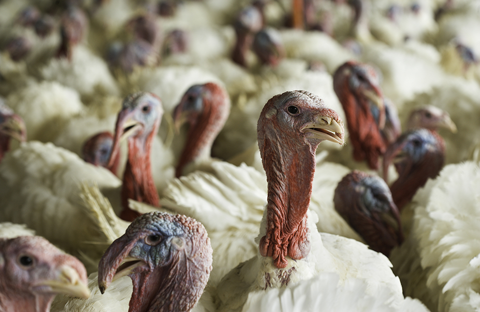 U.S. Farm-Raised Turkeys - Source: https://agresearchmag.ars.usda.gov/2017/nov/
