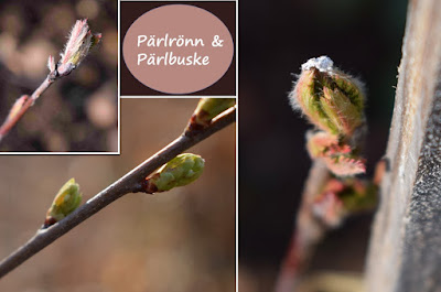 Sorbus koenheana och Exochorda racemosa 'Niagara'