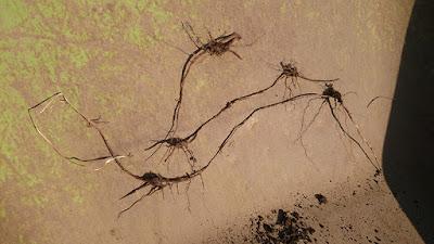 葉が枯れたハマスゲ
