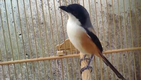 Ciri Burung Cendet Jawara