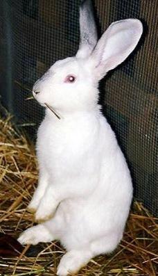 Foto de un conejo blanco parado