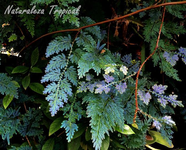Otra foto de la planta del Helecho Azul, Selaginella willdenowii