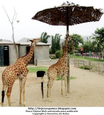 Foto de jirafas en hora de almuerzo. Foto de jirafas de Jesus Gómez