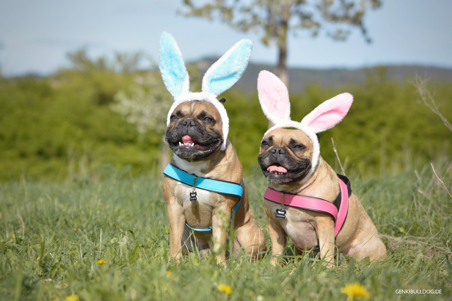 Französischebulldogge Hundeblog Ostern Osterhase Hasenohren Feiertage Easter Bunny Frenchie Bulldog