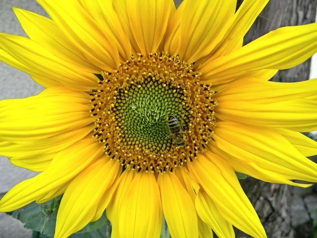 żółte kwiaty, w ogrodzie
