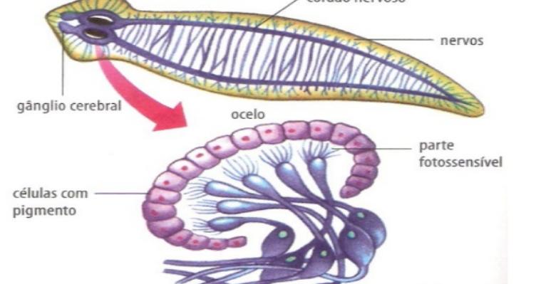 Natureza de mármore: Planárias | Anatomia do Sistema Nervoso e Sensorial