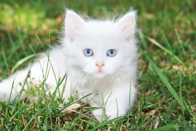 Cute-White-Cat-pictures-its-like-same-as-rabbit