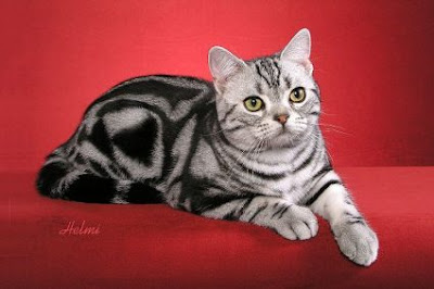american shorthair silver tabby cat pictures chihuahua puppies