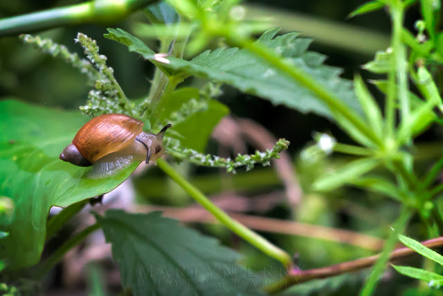 Close up of a brown snail climbing over lush vegetation at Fen Drayton