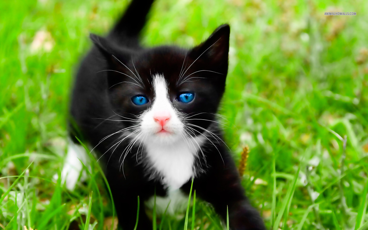 HD Kitten Wallpapers Pictures of Kitten - HD Animal Wallpapers