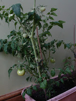 "Tomato ""Totem"" in container on windowsill"