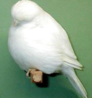 "Kenari Cinnamon - Burung Kenari Cinnamon mempunyai kesamaan dengan Kenari Norwich. Burung ini mempunyai kelompok bulu yang tebal dan mempunyai bentuk yang serba ""bulat"". Kenari Cinnamon mempunyai dada bidang, punggumh pendek lebar, sayap pendek dan ekor pendek, serta paruh juga pendek. Kebanyakan Kenari Cinnamon ini memiliki warna hijau yang menarik. Burung unu jarang yang berwarna putih. Panjang antara 15016 cm. Burung ini termasuk varietas yang langka.     Cinnamon Canary, oleh para pecinta burung kenari Indonesia menyebutnya dengan nama kenari Sinamon. Kenari ini merupakan jenis kenari mutasi dari burung liar yang berasal dari Spanyol , salah satu kenari yang memiliki bulu yang indah, dan biasanya para penghobi menilainya berdasar keindahan bulu yang dimiliki. Kenari Sinamon memiliki berbagai variasi warna bulu, namun yang paling ideal adalah berwarna gelap serta coklat menyala merah dalam bentuk kuning serta campuran halus merah muda dan cokelat lembut.  Kelebihan dari kenari jenis ini stabil, lebih mandiri, dan sifatnya hampir menyerupai kenari Nrwich. Namun yang menjadi perbedaan adalah ukuran tubuh kenari Cinnamon lebih besar daripada kenari Norwich. Ukuran tubuh kenari Cinnamon dengan panjang sekitar 15-16 cm.  Kenari Cinnamon adalah kenari yang tergolong langka, hampir sama dengan burung Kenari Lancashire yang juga langka dan sulit ditemukan saat ini. Jadi, wajar saja bila kenari tersebut menjadi incaran para pecinta kenari, karena memang memiliki keindahan dan terlihat istimewa"