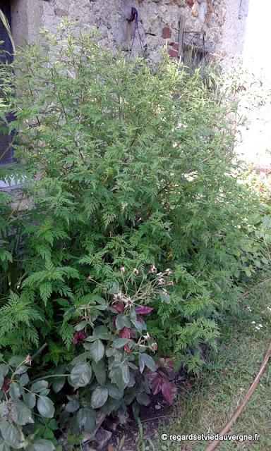 Ambroisie à feuilles d'armoise.