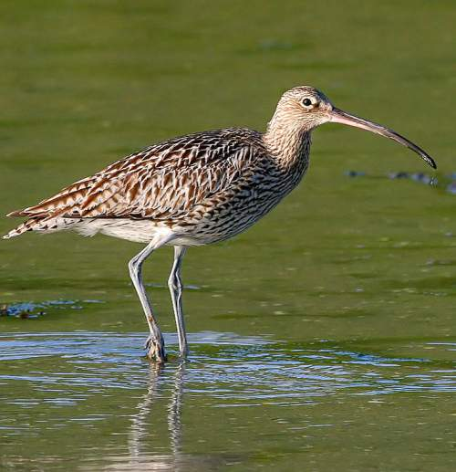 Birds of India - Photo of Eurasian curlew - Numenius arquata