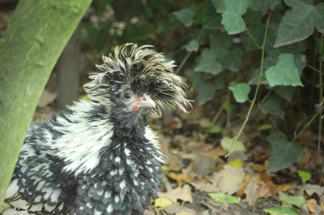 Silver black-laced Polish rooster organic forest garden