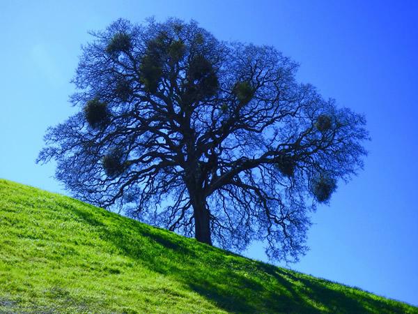 A big tree with a lot of mistletoe.
