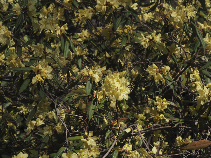 Flora ornamental hort cola y medicinal rhododendron for Jardin botanico medicinal