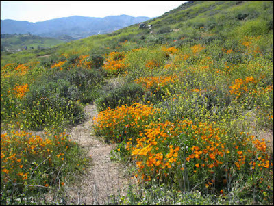 California, wildflowers, superbloom, super bloom, poppies, Lake Elsinore, Walker Canyon