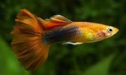 Ikan Guppy Tuxedo Merah - Cara Budidaya Ikan Guppy