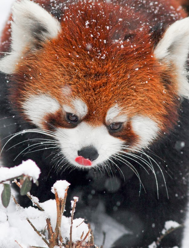 Aninimal Book: If These Red Pandas Can Enjoy The Snow Then You Should ...