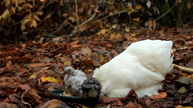 Cochin bantam adopts chicks in Forest Garden