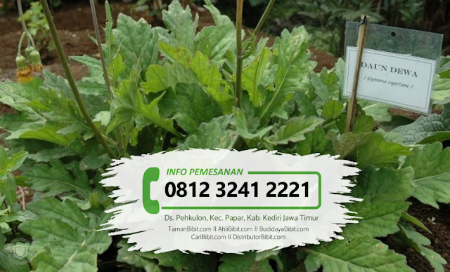 Jual Bibit Herbal Daun Dewa