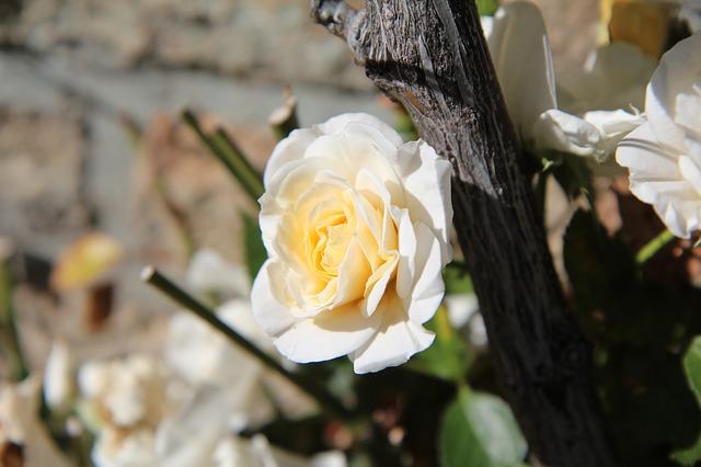 hoa hồng bạch đẹp nhất 1