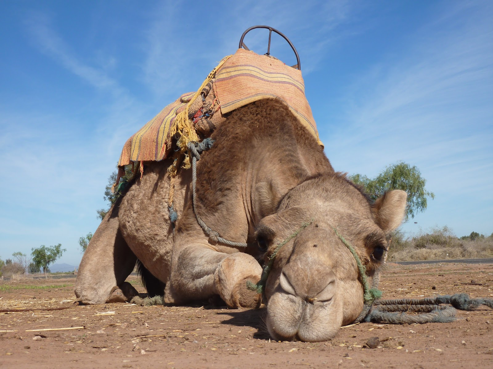The Camel | Biggest Animal In The World Basic Facts ...