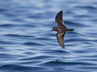 petrel de tormenta negro Hydrobates melania