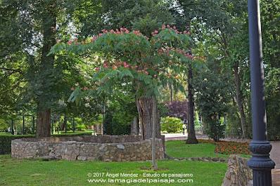 albizia julibrissin, árboles, diseño jardines, jardinería, jardines pequeños