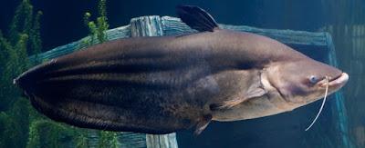 Tapah Catfish Si Ikan Lele Hitam Berbadan Tipis