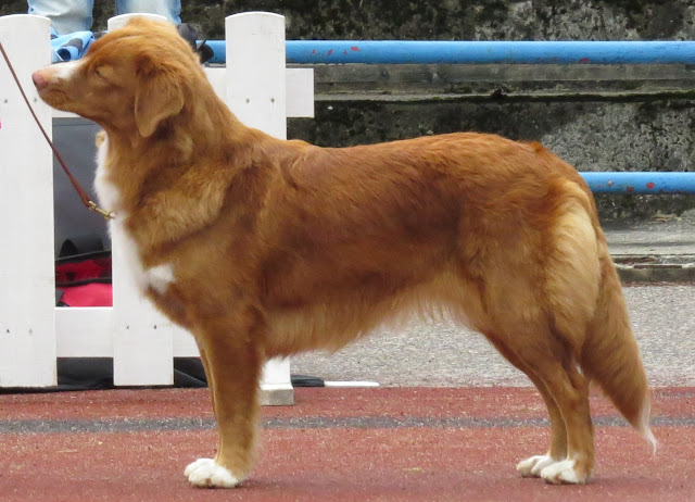Names for Retrievers the Duck Toller