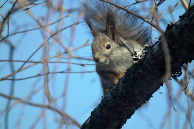 orava, kevät,