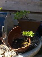 Lijsterbes bonsai