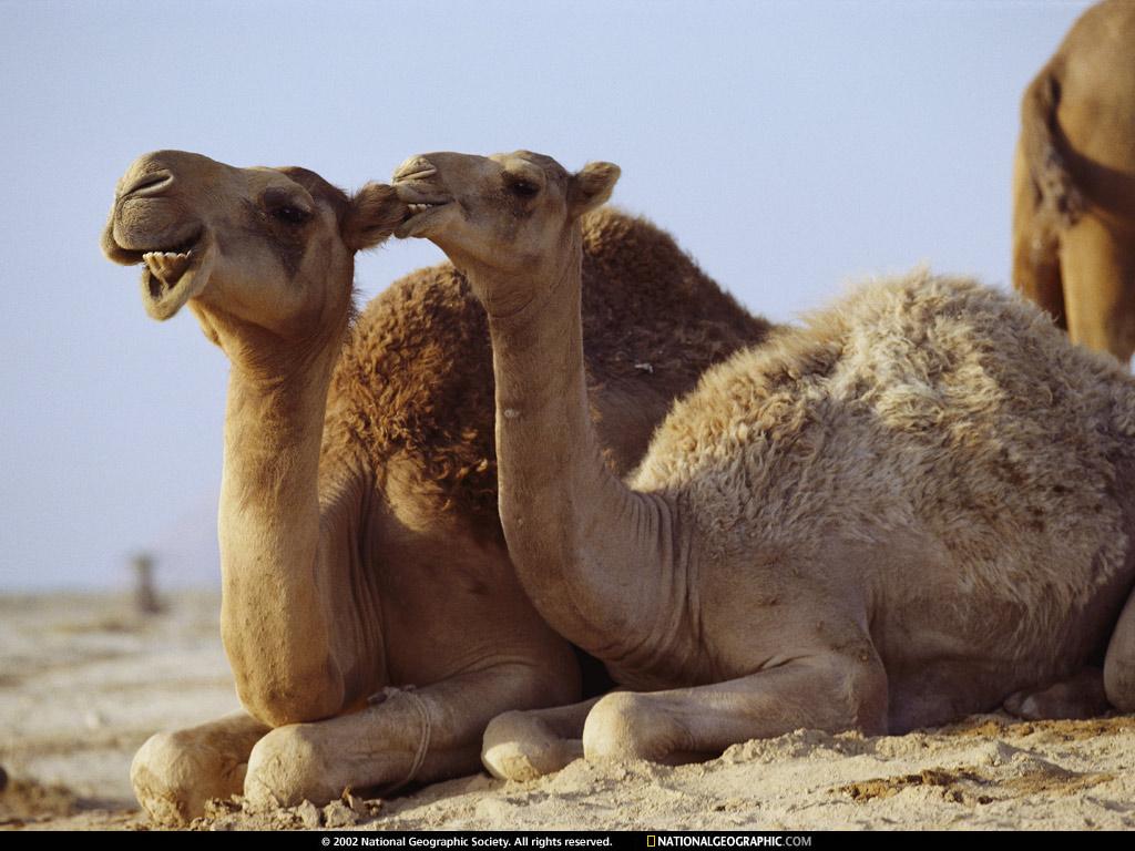 Cartoon Camel Face
