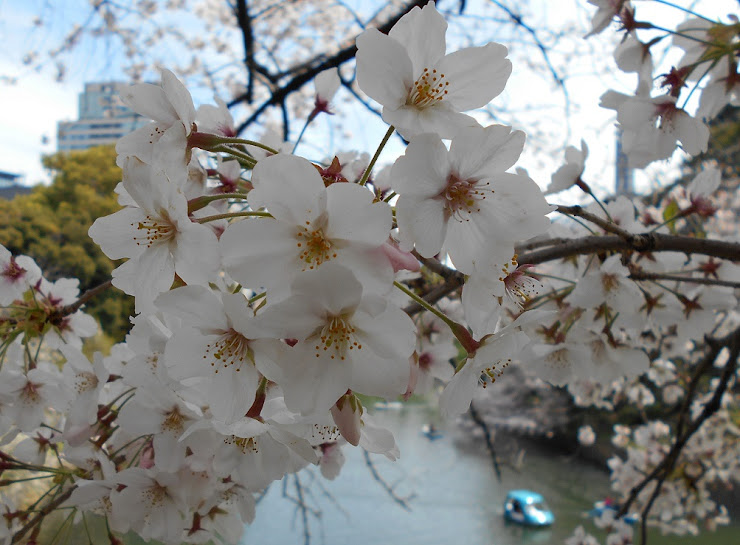 千鳥が淵の桜も満開
