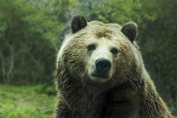 интересные факты о буром медведе